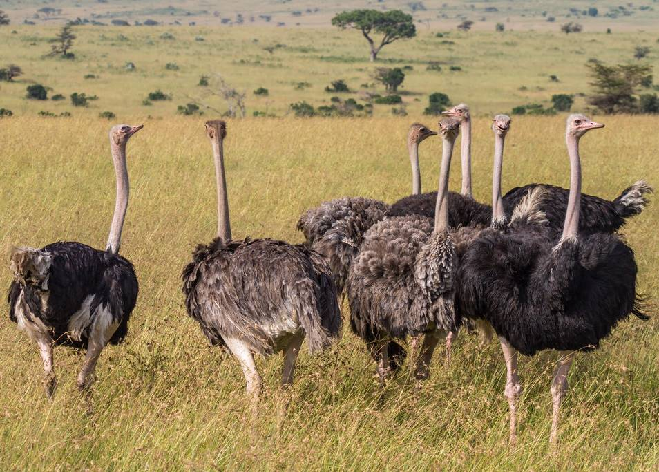facts about Ostrich